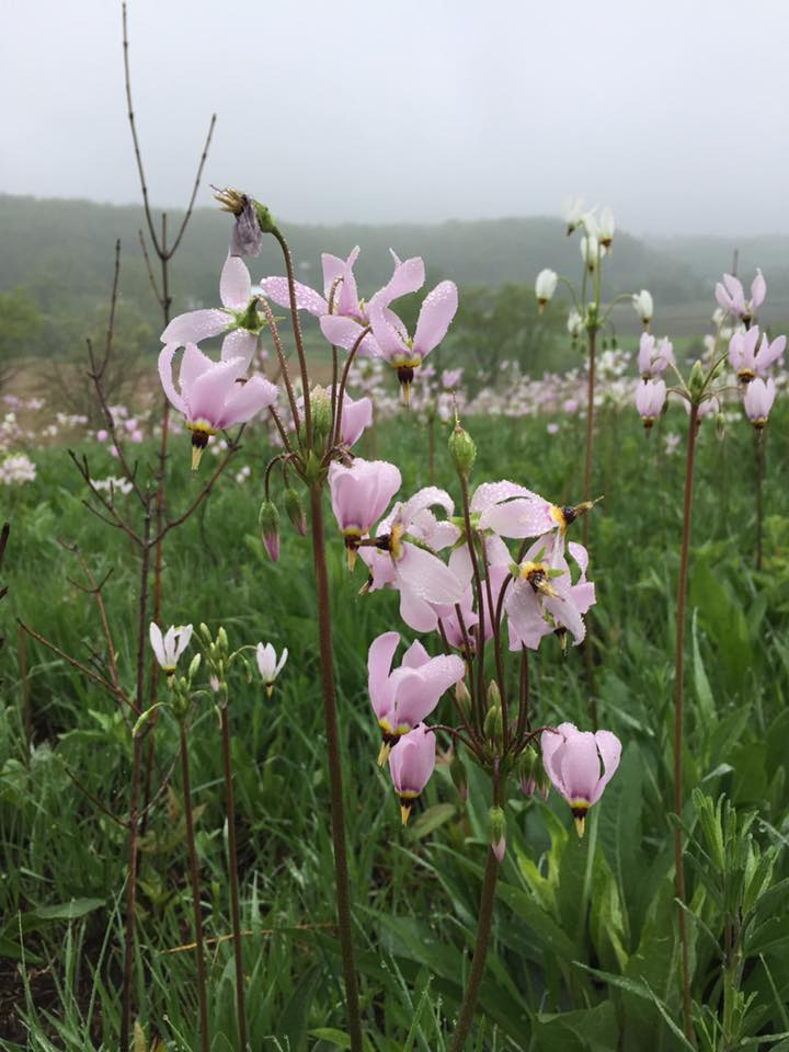 Shooting stars in the prairie remnant