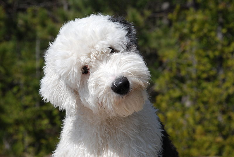 Source: Google Images.  English Sheepdog.