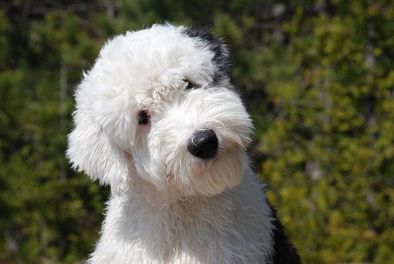 Source: Google Images. English Sheepdog.
