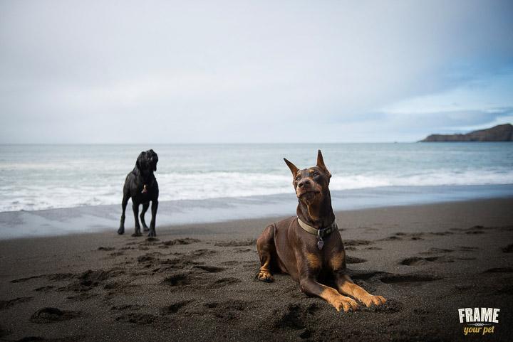 Bonz howling behind Bosch at the beach.