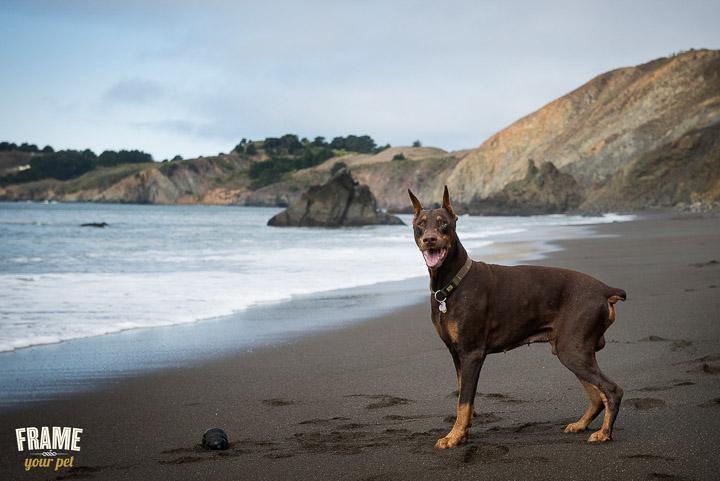 dog-photographer-Los-Angeles-bullmastiff-doberman-photo-session-Frame-Your-Pet-6-2.jpg