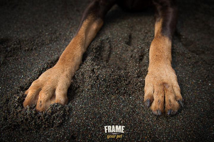 dog-photographer-Los-Angeles-bullmastiff-doberman-photo-session-Frame-Your-Pet-9-2.jpg