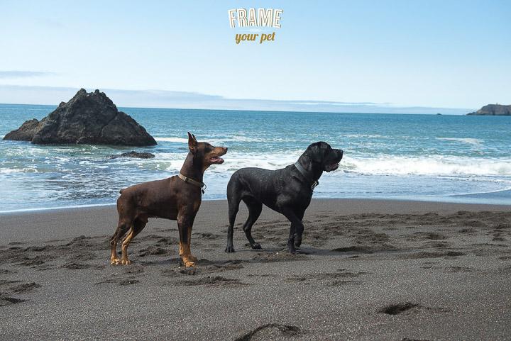 dog-photographer-Los-Angeles-bullmastiff-doberman-photo-session-Frame-Your-Pet-16-2.jpg