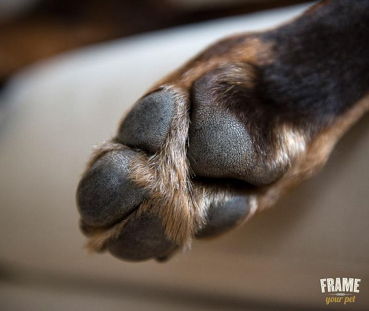 dog-photographer-Los-Angeles-bullmastiff-doberman-photo-session-Frame-Your-Pet-25-2.jpg