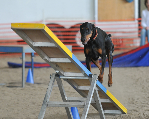 Dog at agility.