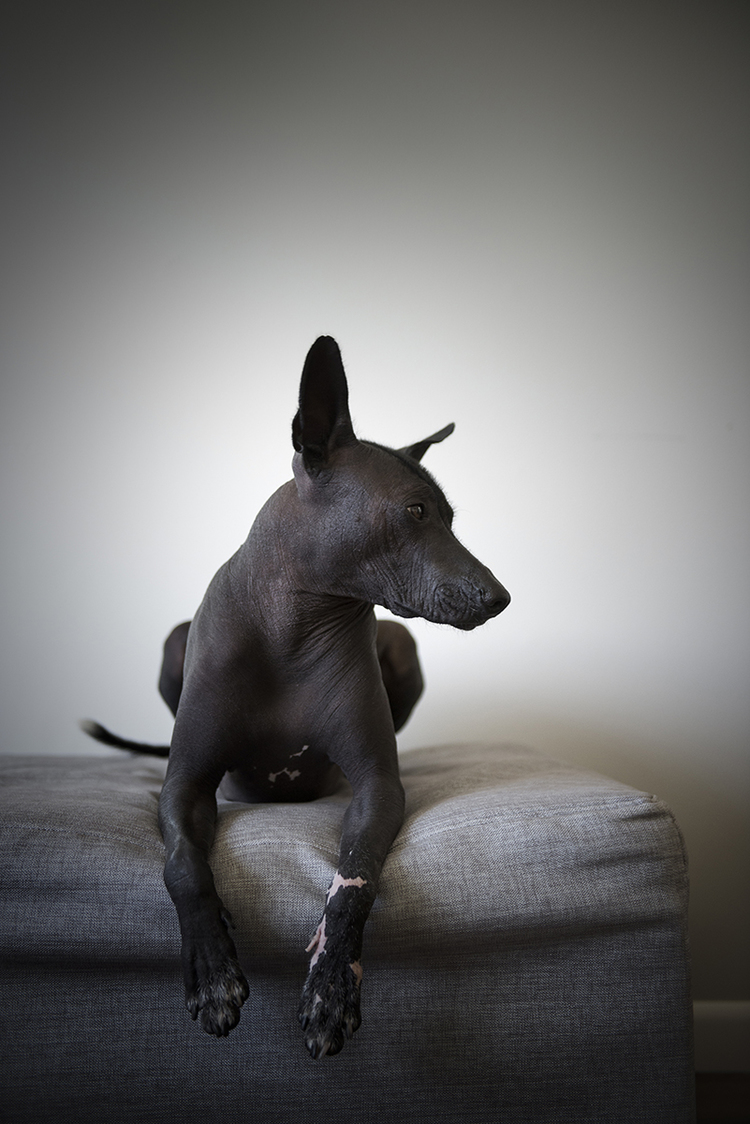 thoughtful-dog-posing-on-couch-looking-away.jpg