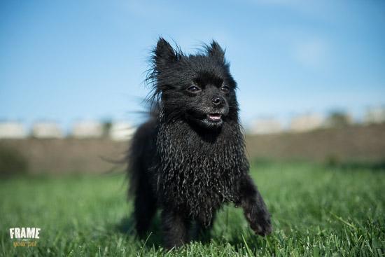 rescued-pomeranian-photoshoot-Los-Angeles-dog-photographer-4.jpg