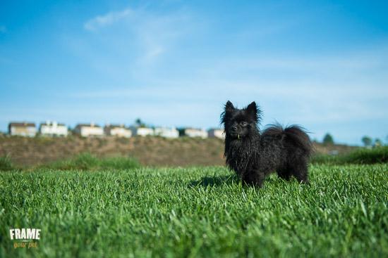 rescued-pomeranian-photoshoot-Los-Angeles-dog-photographer-5.jpg