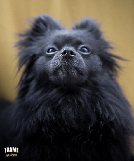 rescued-pomeranian-photoshoot-Los-Angeles-dog-photographer-12.jpg