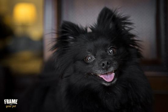rescued-pomeranian-photoshoot-Los-Angeles-dog-photographer-29.jpg