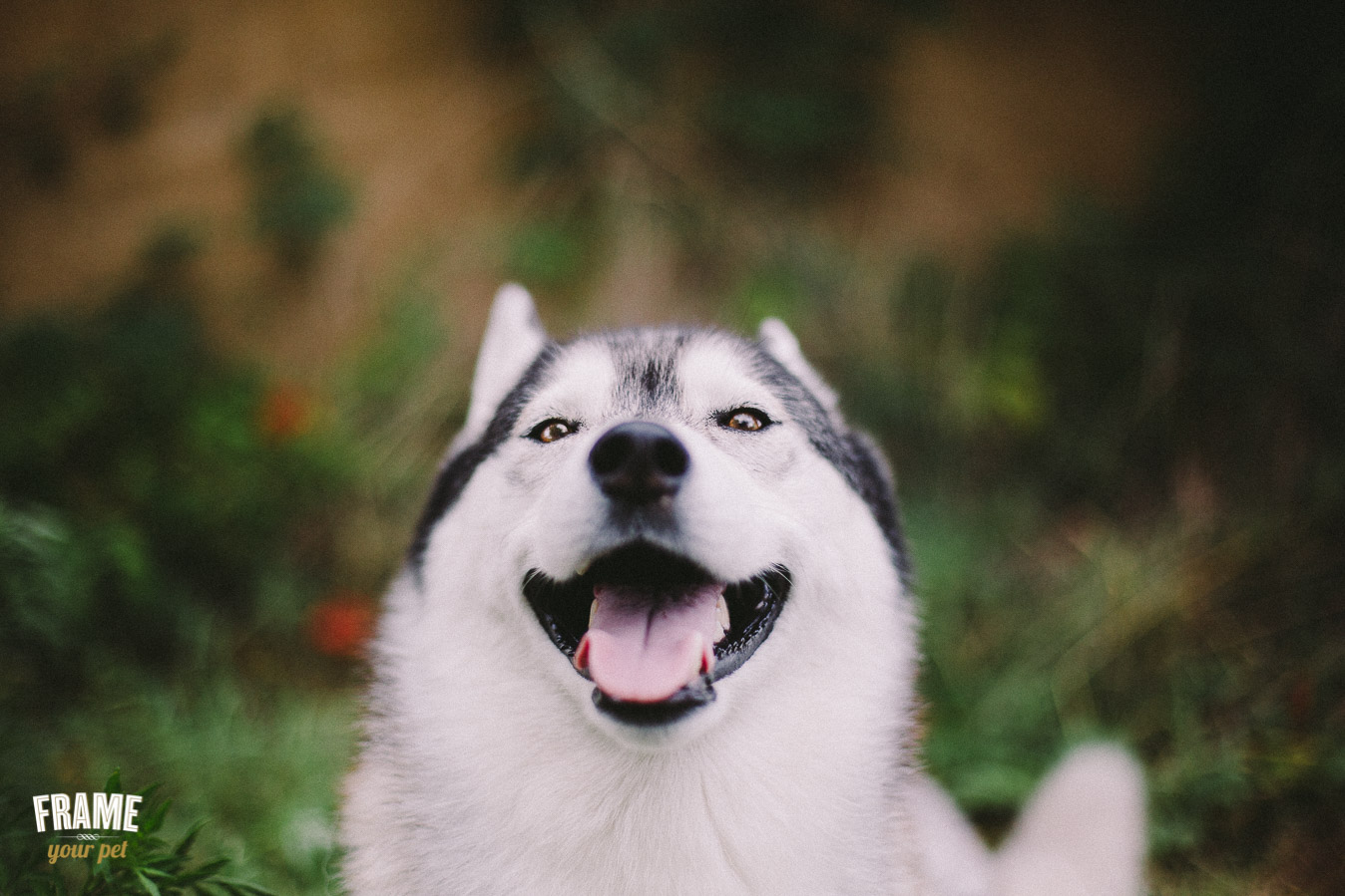 Siberian husky smiling at the camera during outdoor session in a country field with flowers.