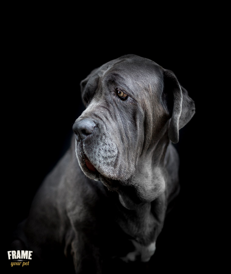 Ares: a massive 2 year young neapolitan mastiff.