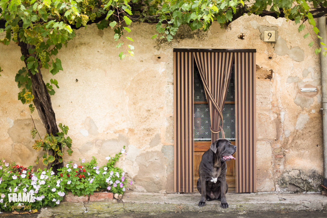 Rustic photo of black neapolitan mastiff in front of a country house in Girona.