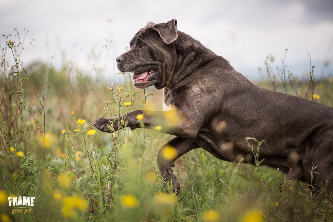 bullmastiff running in flower field