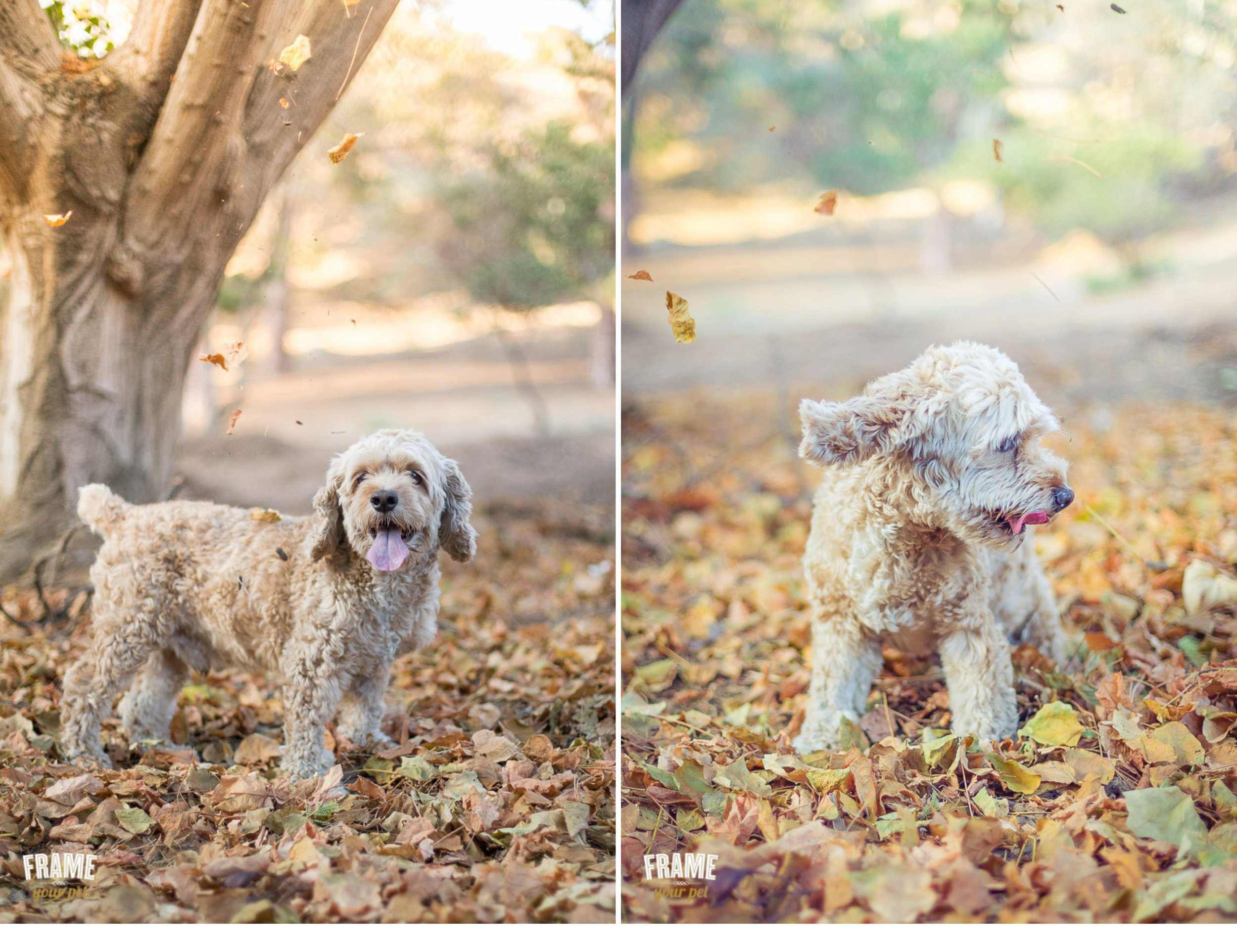 Cute photos of Porter with the autumn leafs at Runyon Canyon Park.