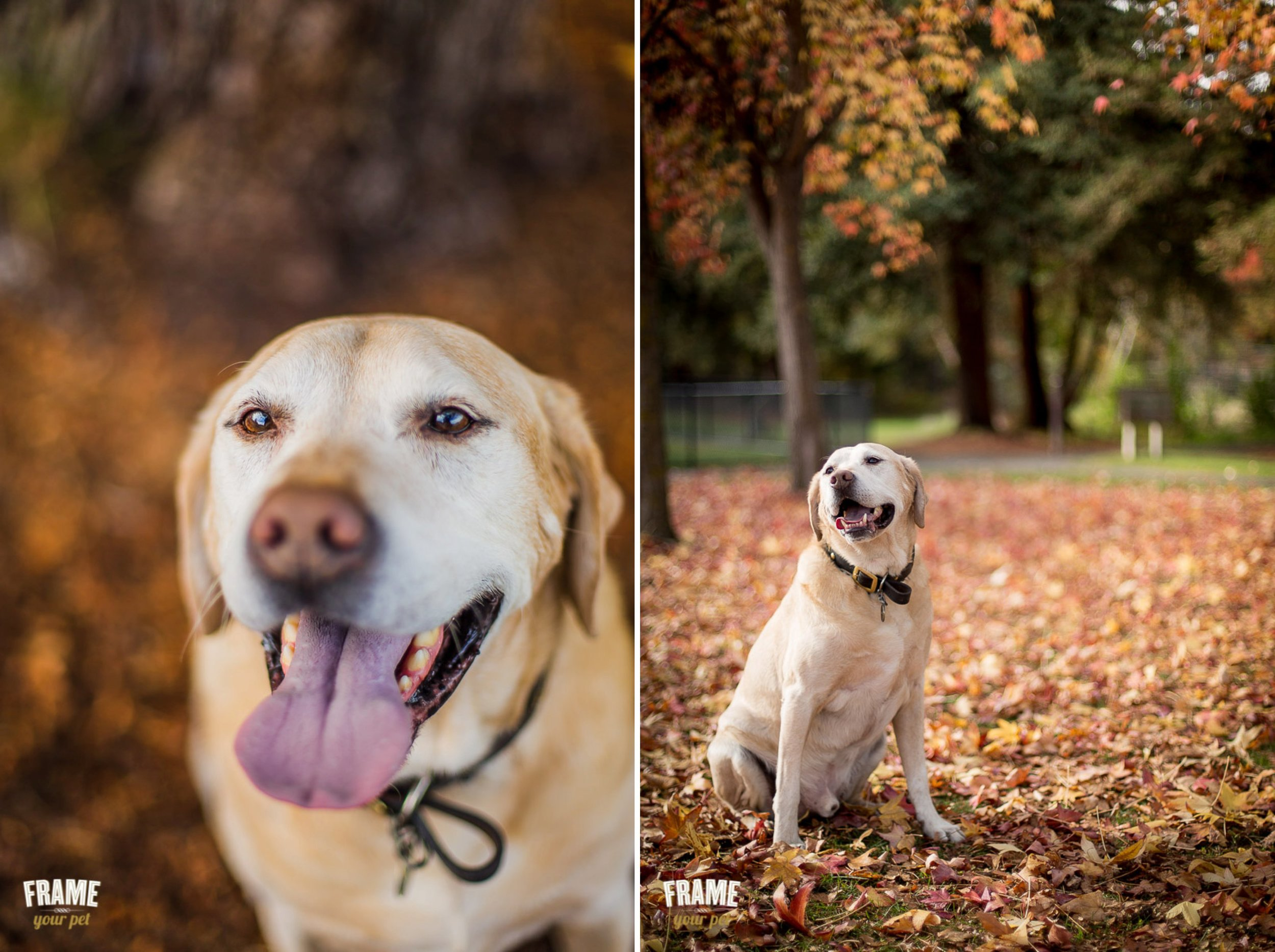 happy labrador mix with fall leafs at header's park, walnut creek