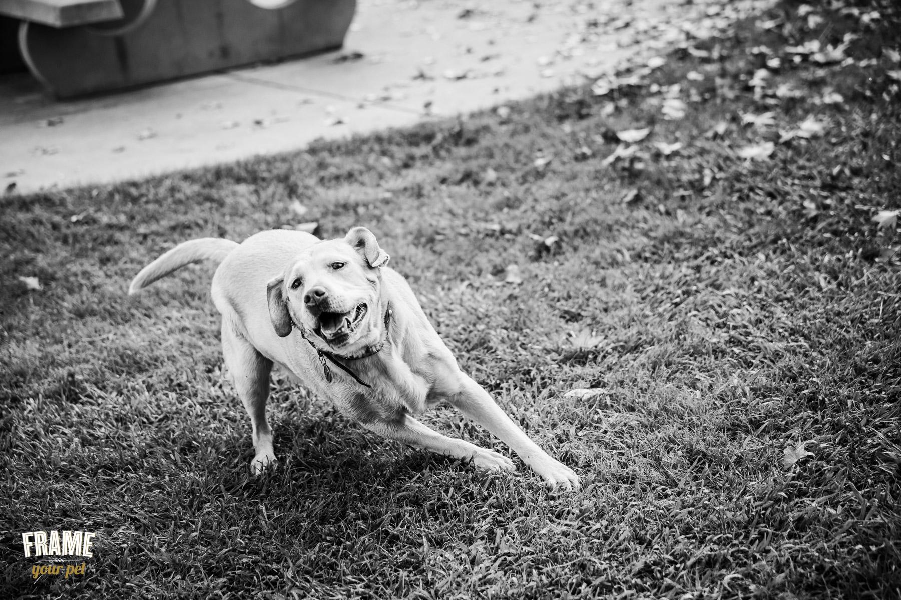 active labrador running in field
