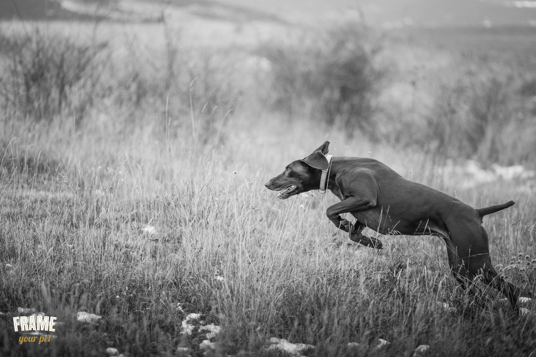hunter-dog-running-in-field