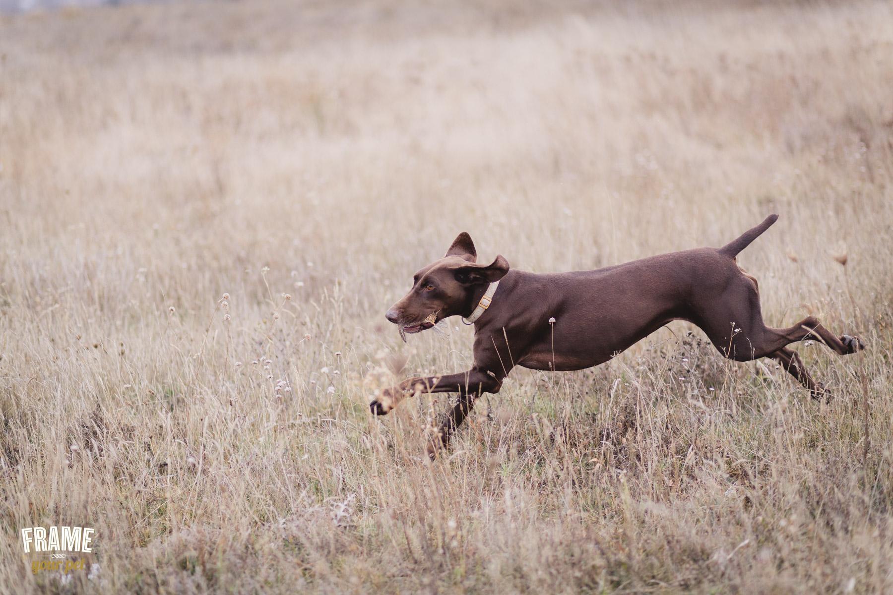 hunter-dog-in-action