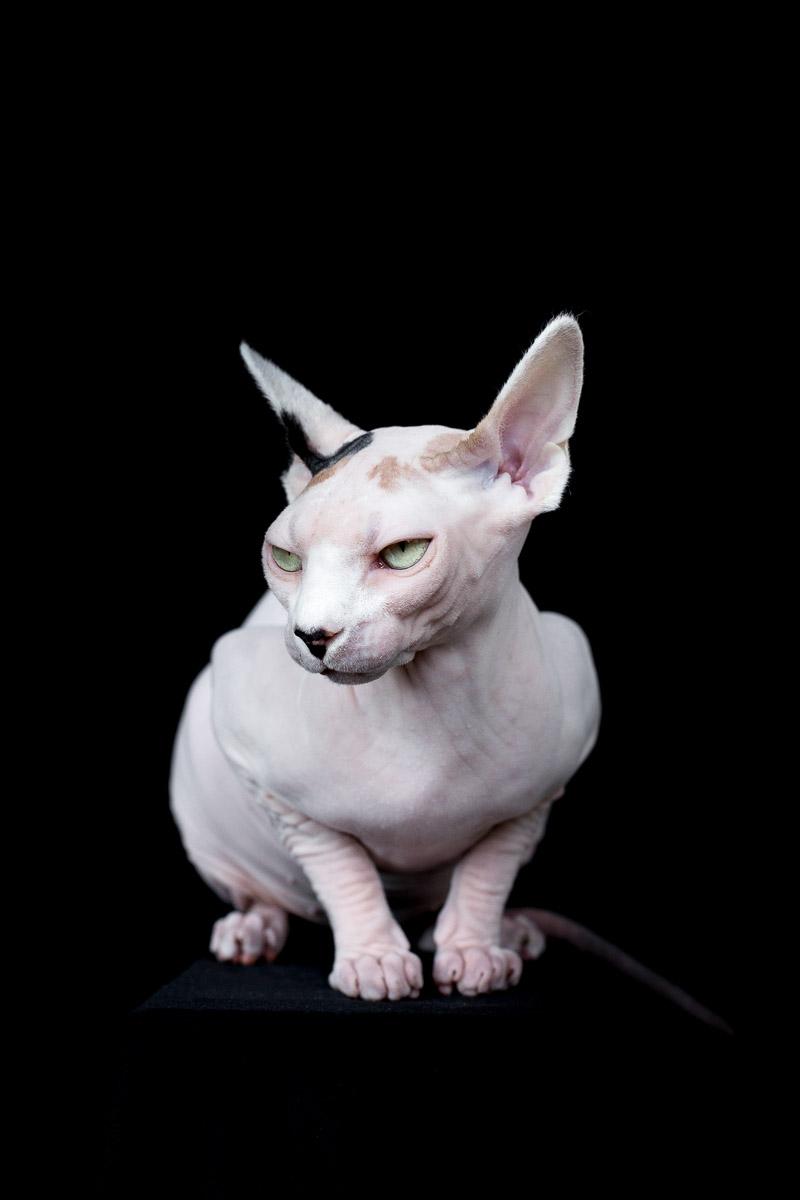 sphynx-cat-photos-by-alicia-rius-2.jpg