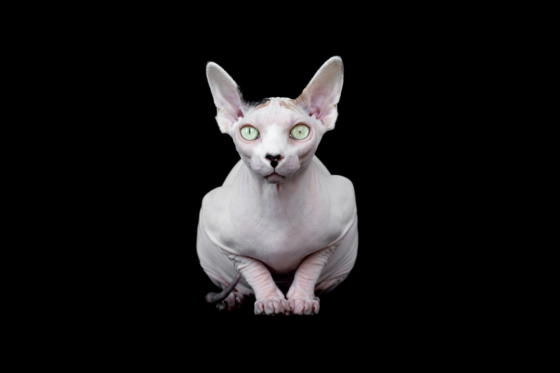 sphynx-cat-photos-by-alicia-rius-3.jpg