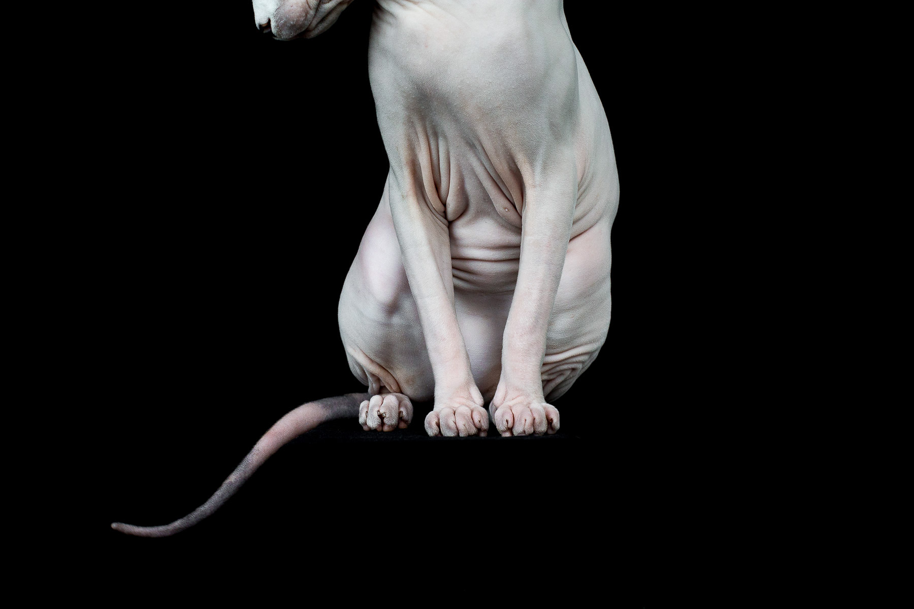 sphynx-cat-photos-by-alicia-rius-17.jpg