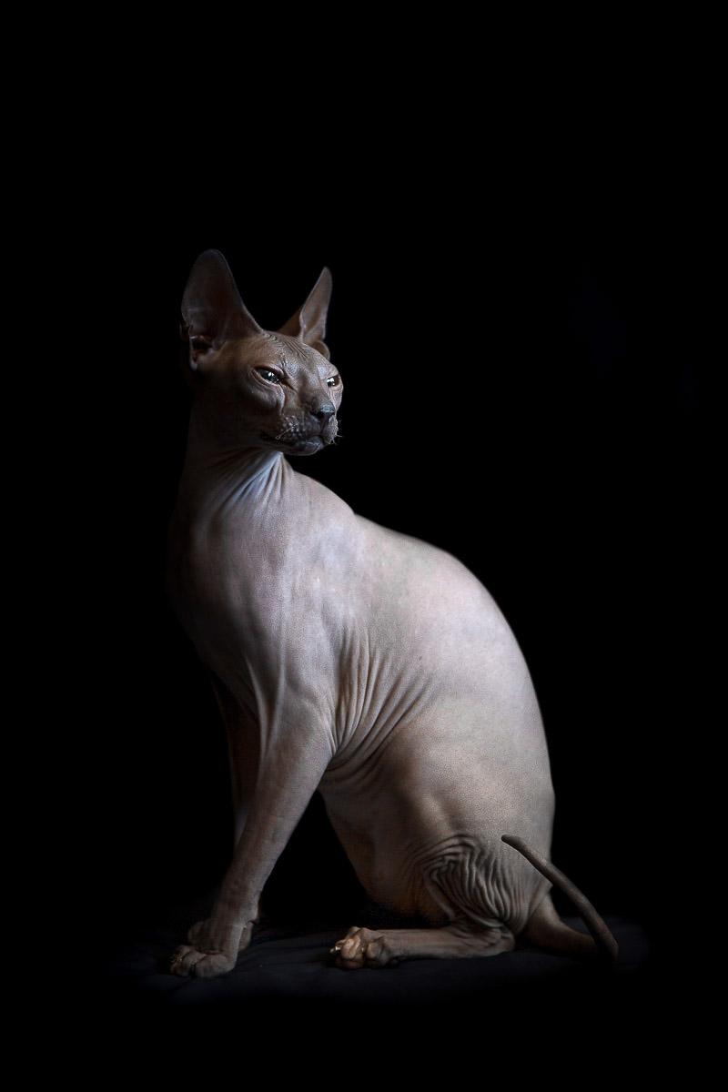 sphynx-cat-photos-by-alicia-rius-24.jpg
