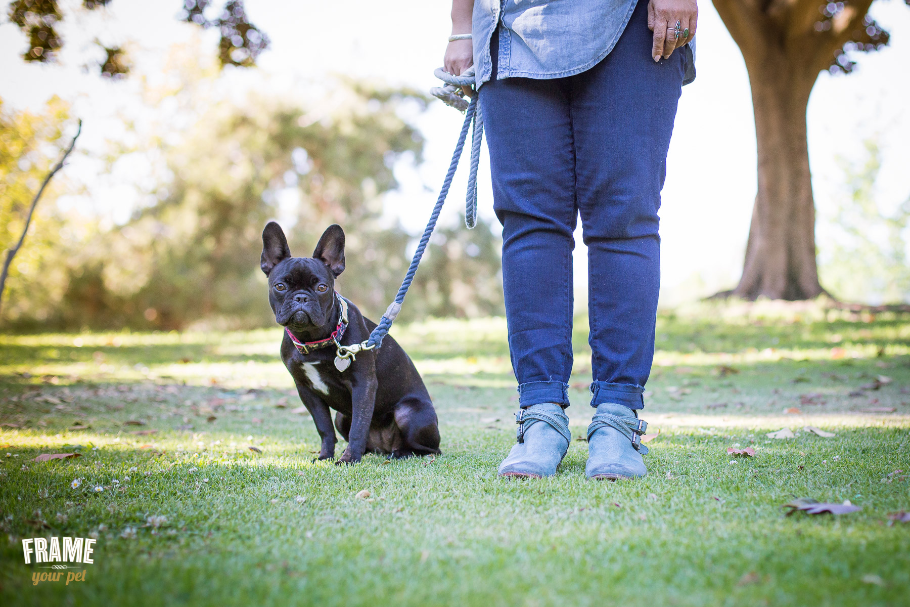 French Bulldog Margo likes to look straight into my camera for her portraits.