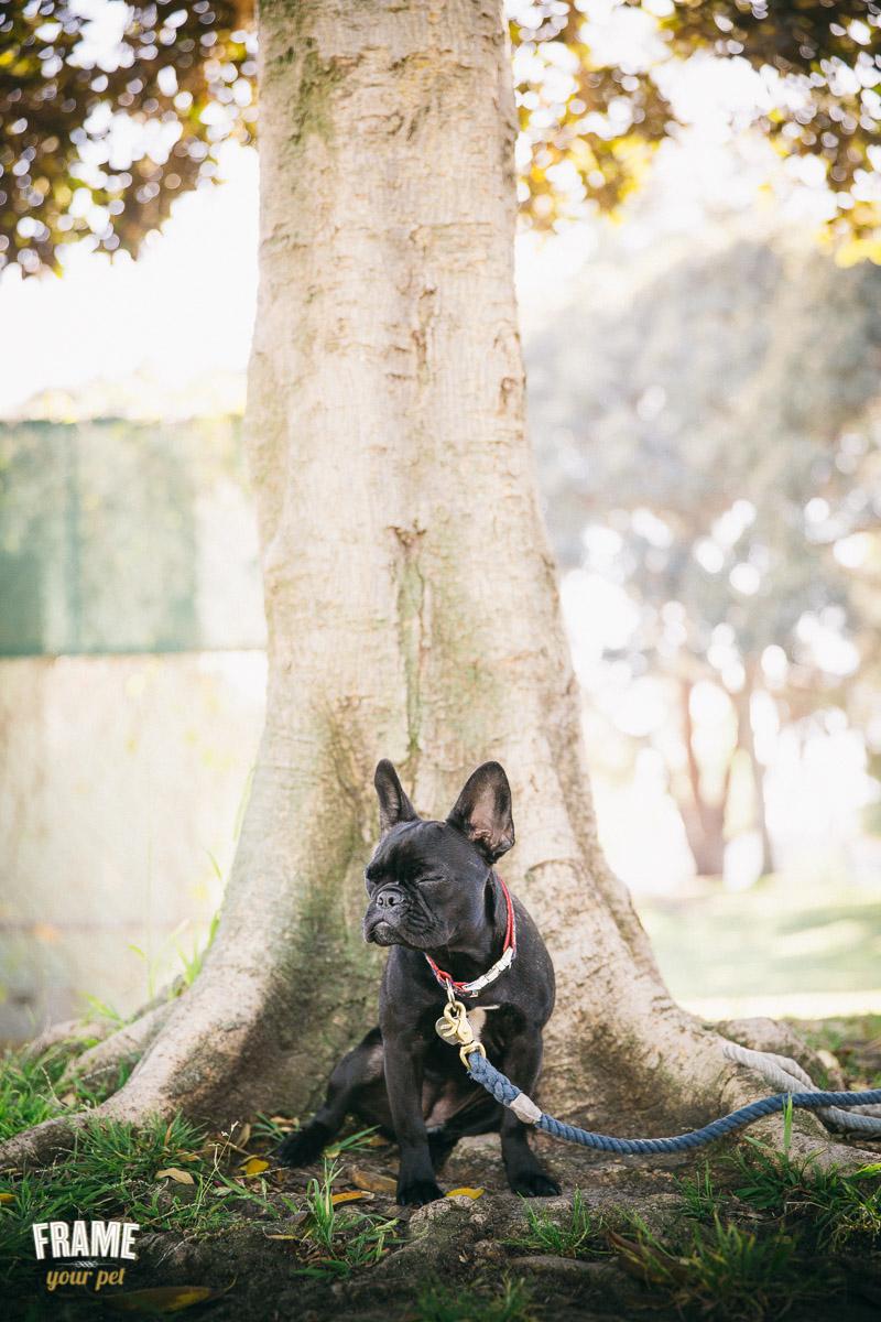 black-french-bulldog-puppy-photos