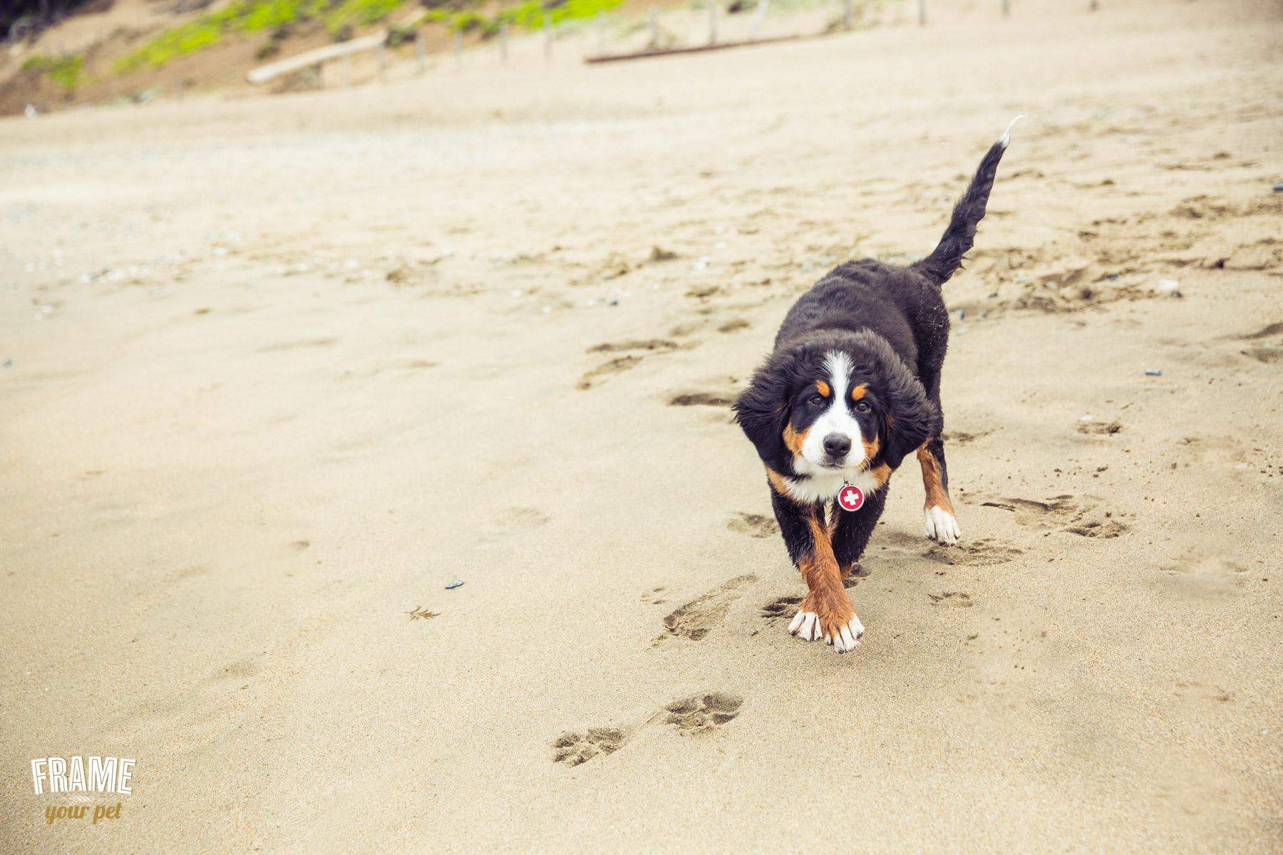 swiss-bernese-puppy-playing-photos-1.jpg