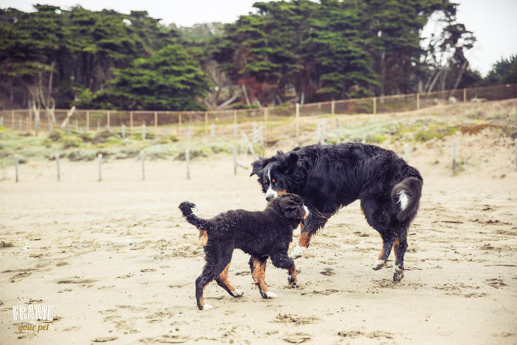 swiss-bernese-puppy-playing-photos.jpg
