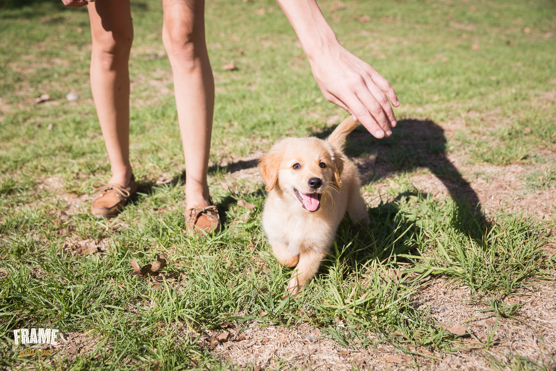 golden-retriever-puppy-playing.jpg