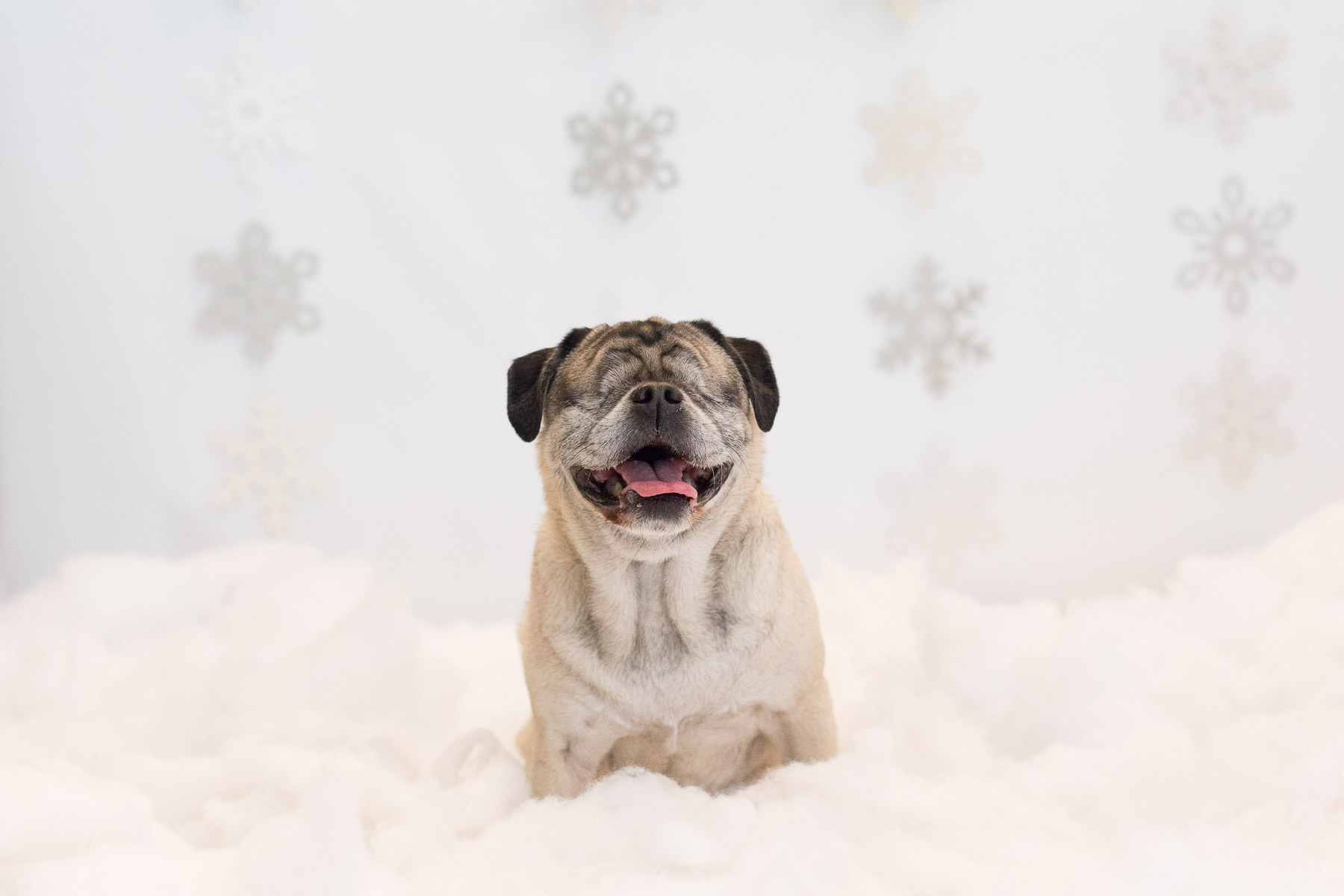 blind-pug-by-dog-photographer-los-angeles