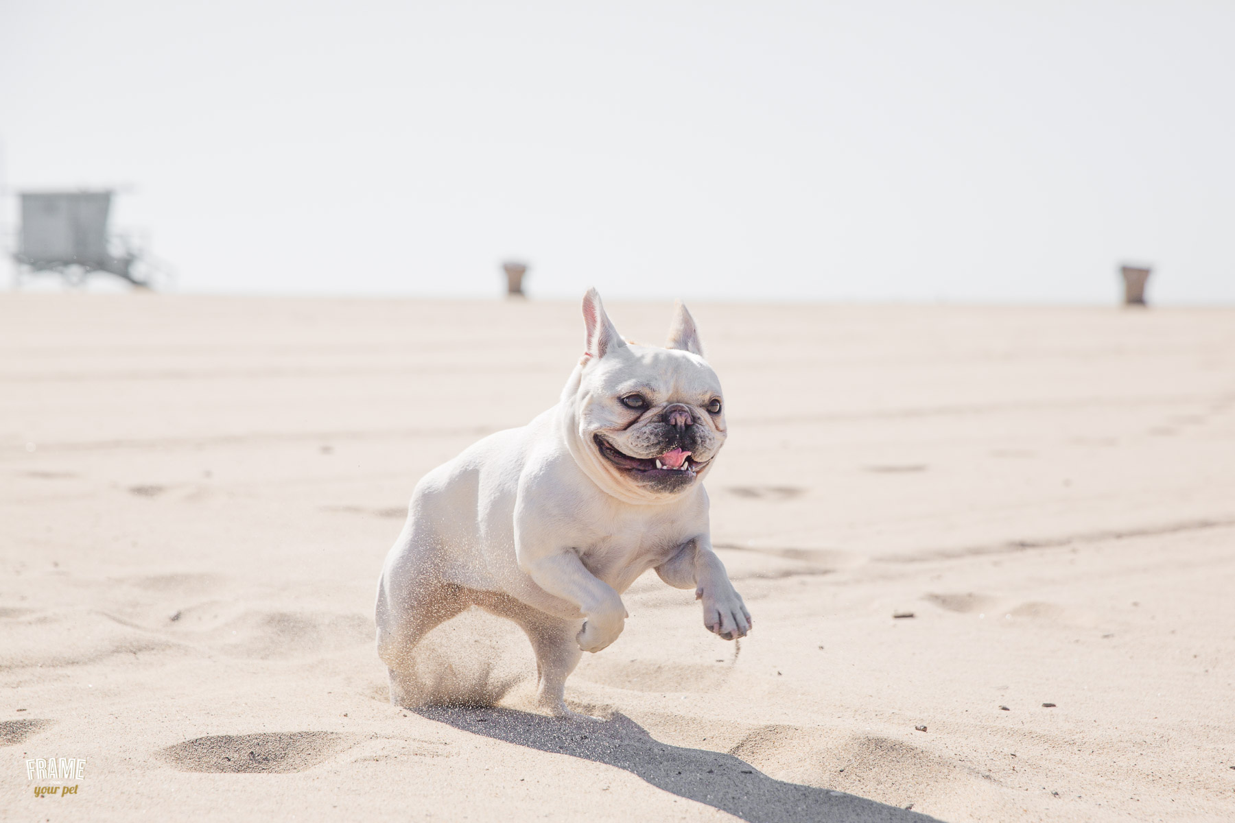 french-bulldog-running-on-beach