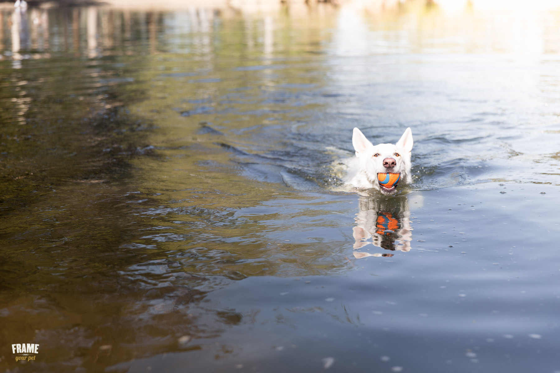 dog-swimming-in-lake-with-ball.jpg