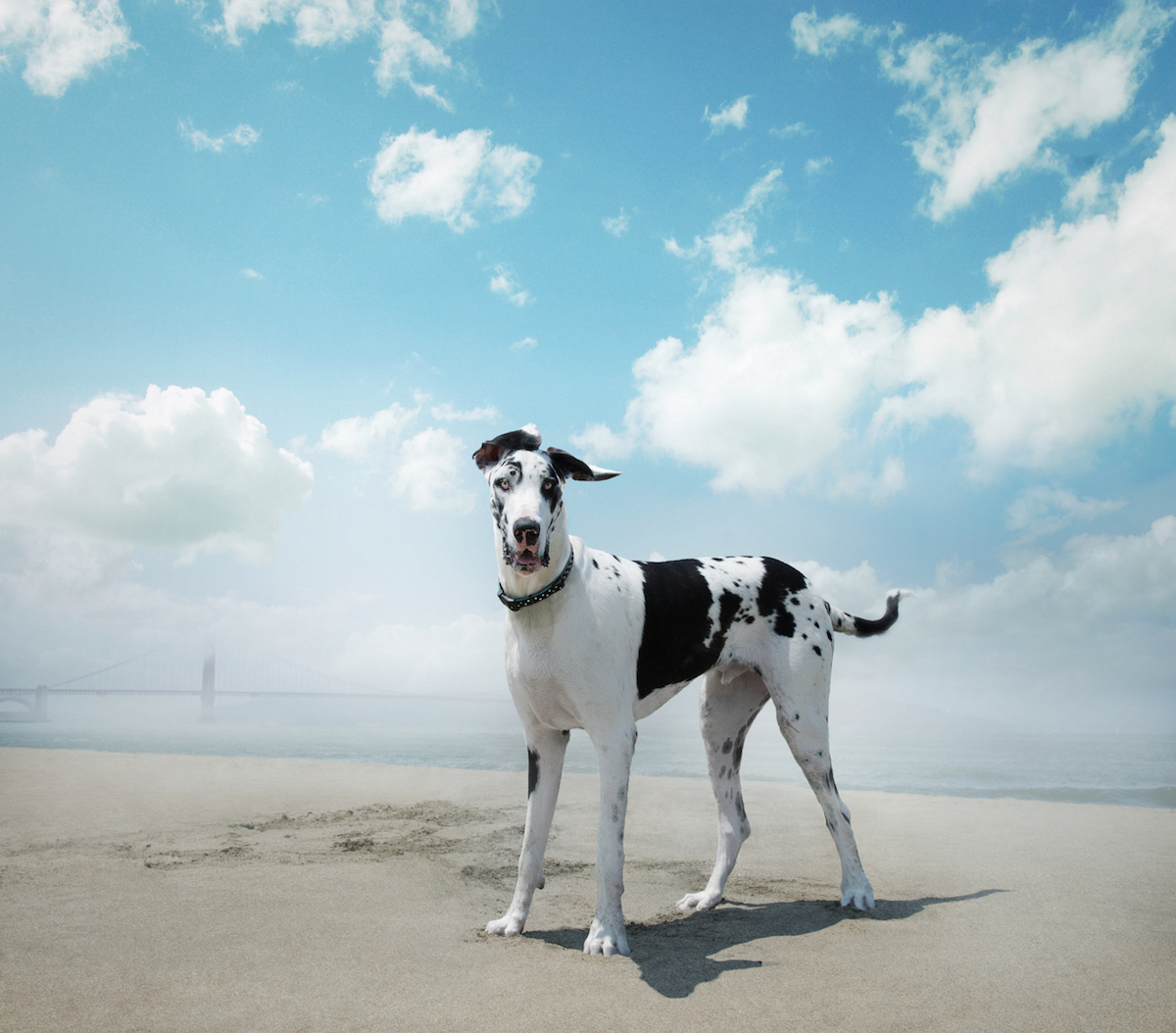 Great Dane at Baker Beach, San Francisco.