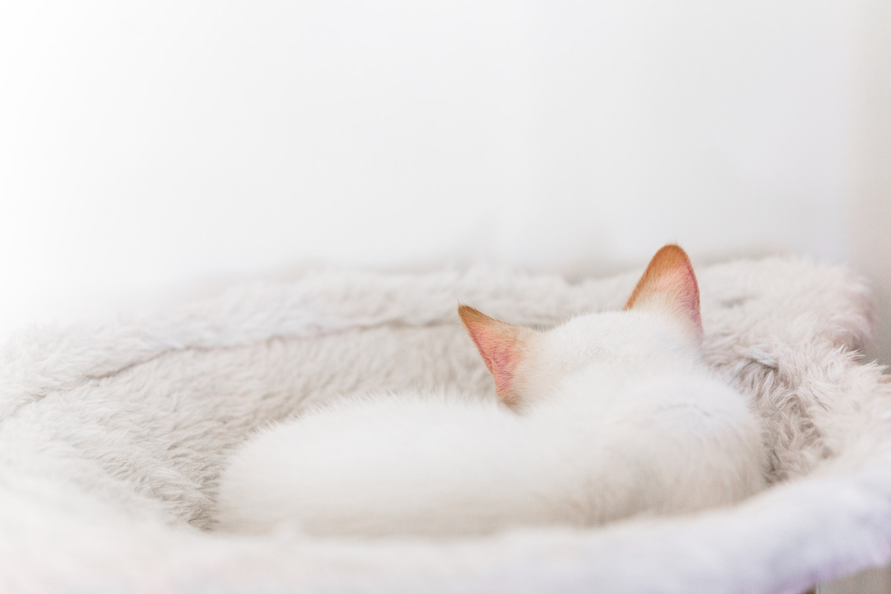 white-kitty-sleeping-cat-photography.jpg