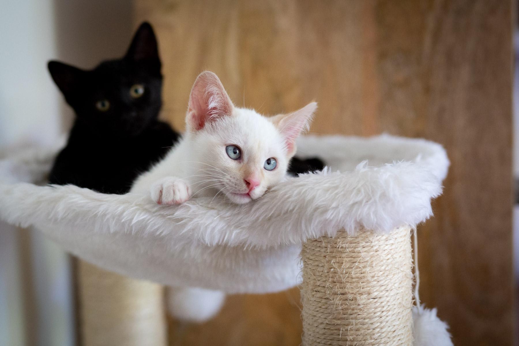 black-white-kitties-for-adoption-foster-home-cat-photos.jpg