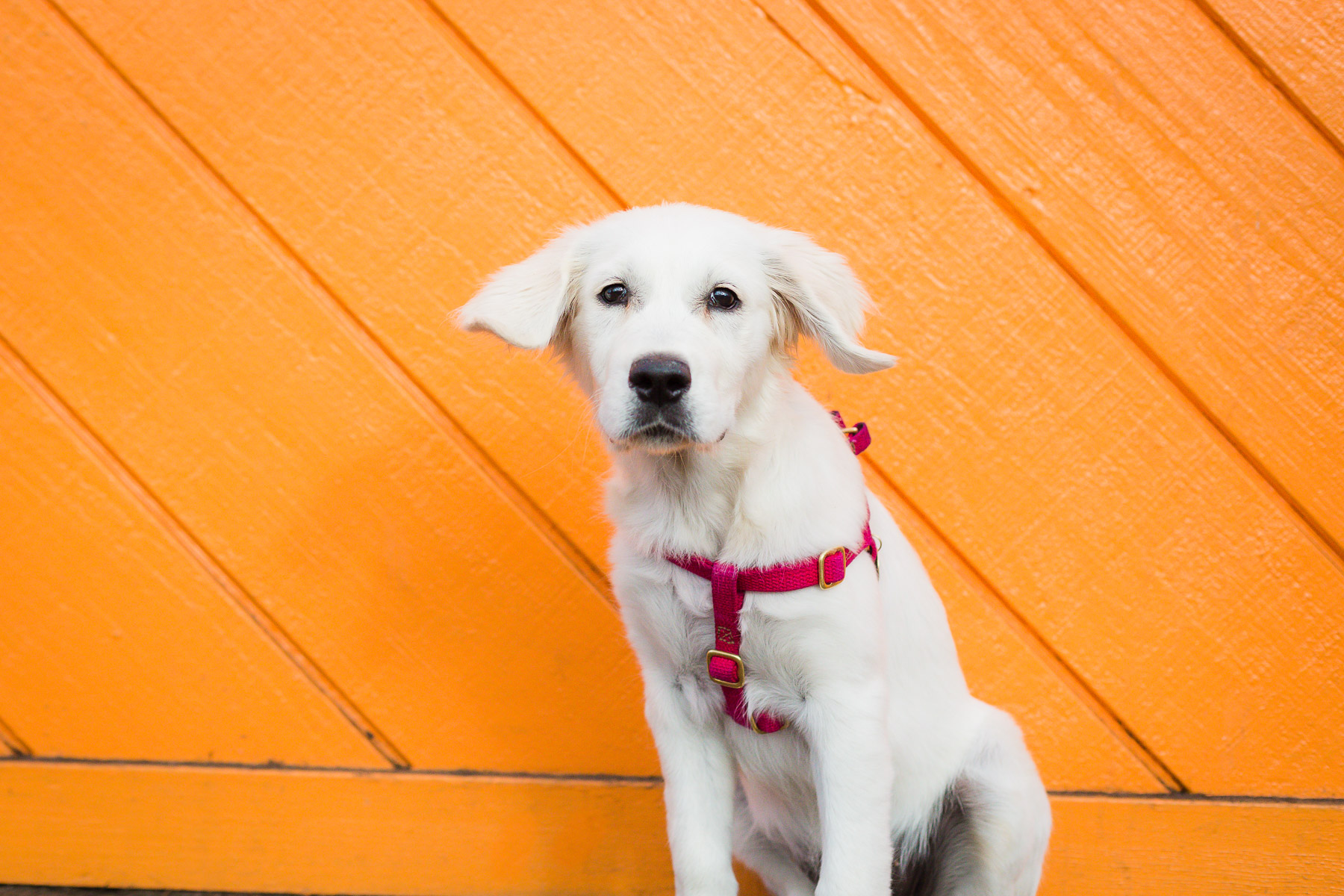 cream-golden-retriever-puppy-photo.jpg