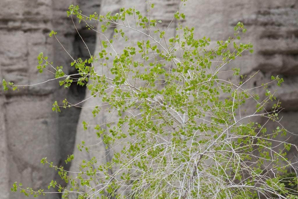 Cottonwood.jpg
