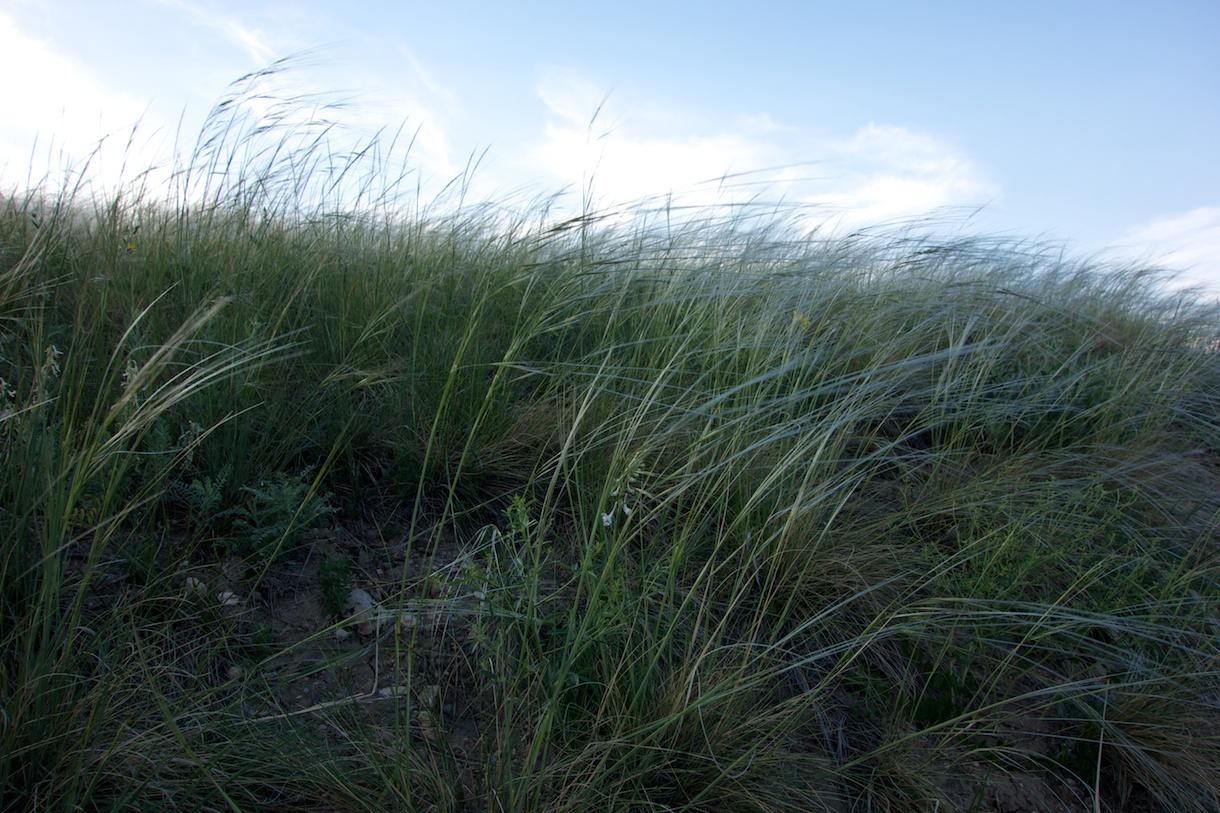 Grasses near Wonderland Lake, Boulder, 13 June