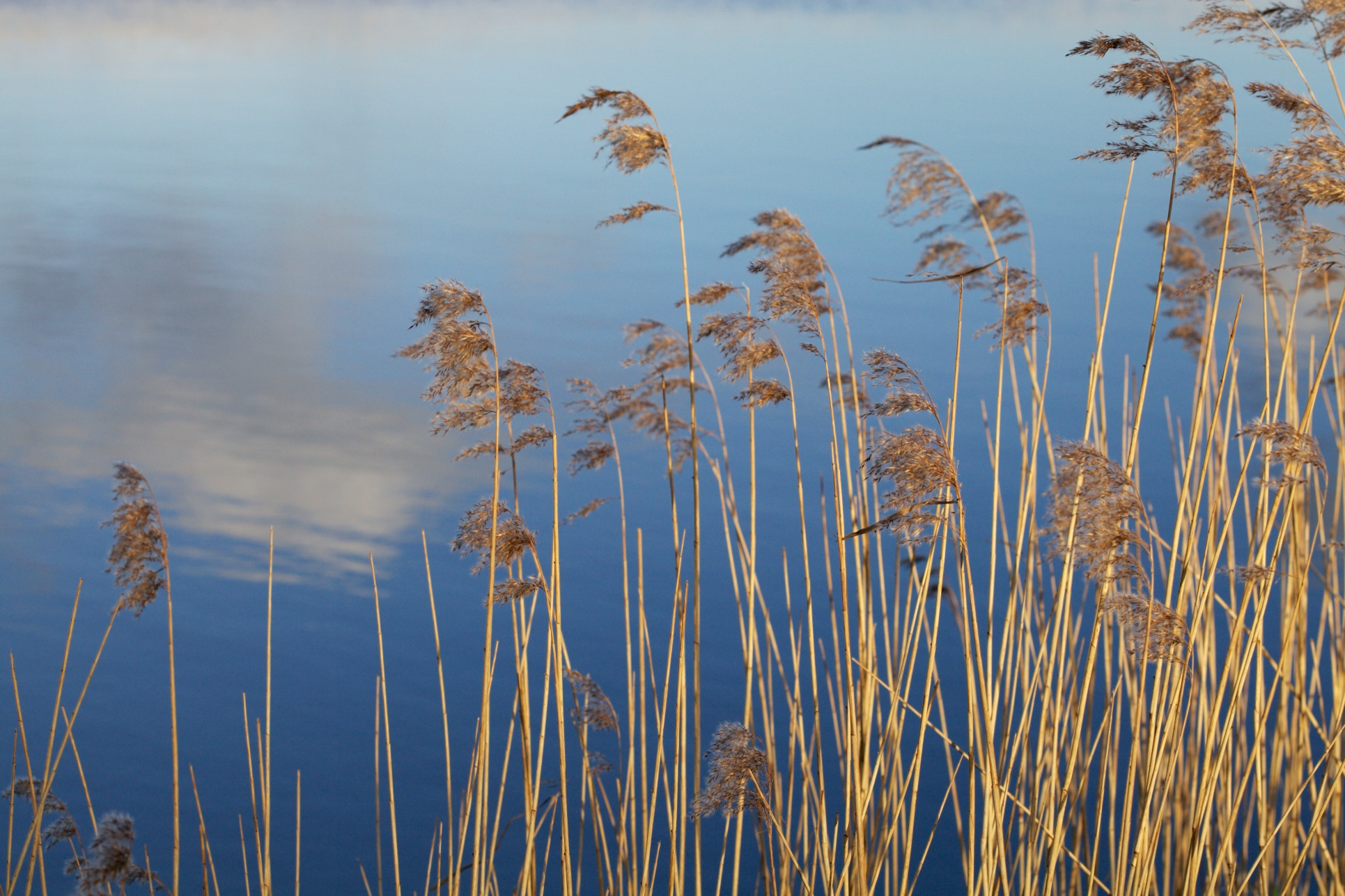 Reeds along the Alde, 2 February.