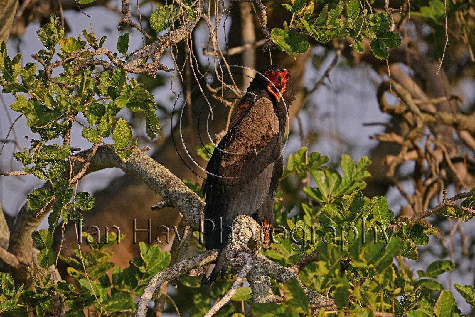 Bateleur Eagle (Large).jpg