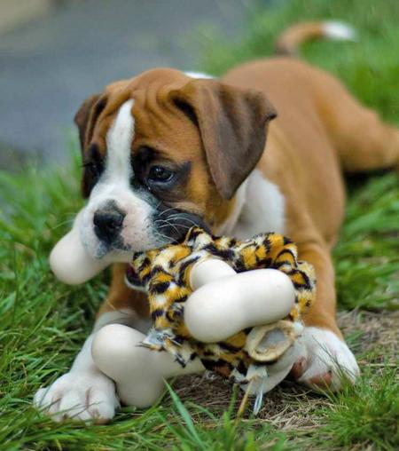Cute-Boxer-Puppies-Playing.jpg