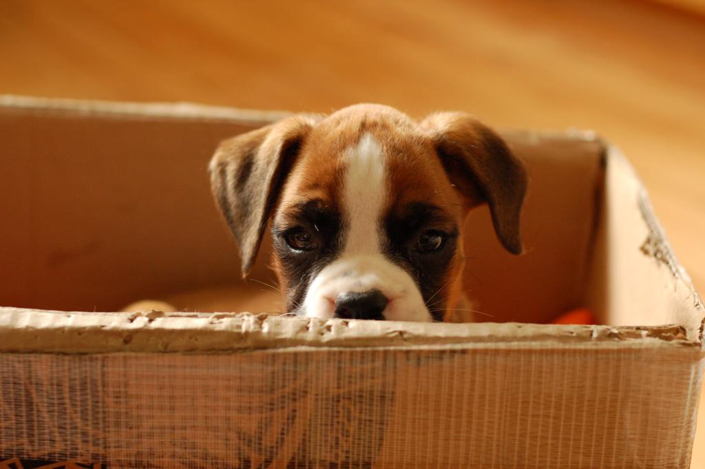 HD-Boxer-Puppies-Wallpapers.jpg