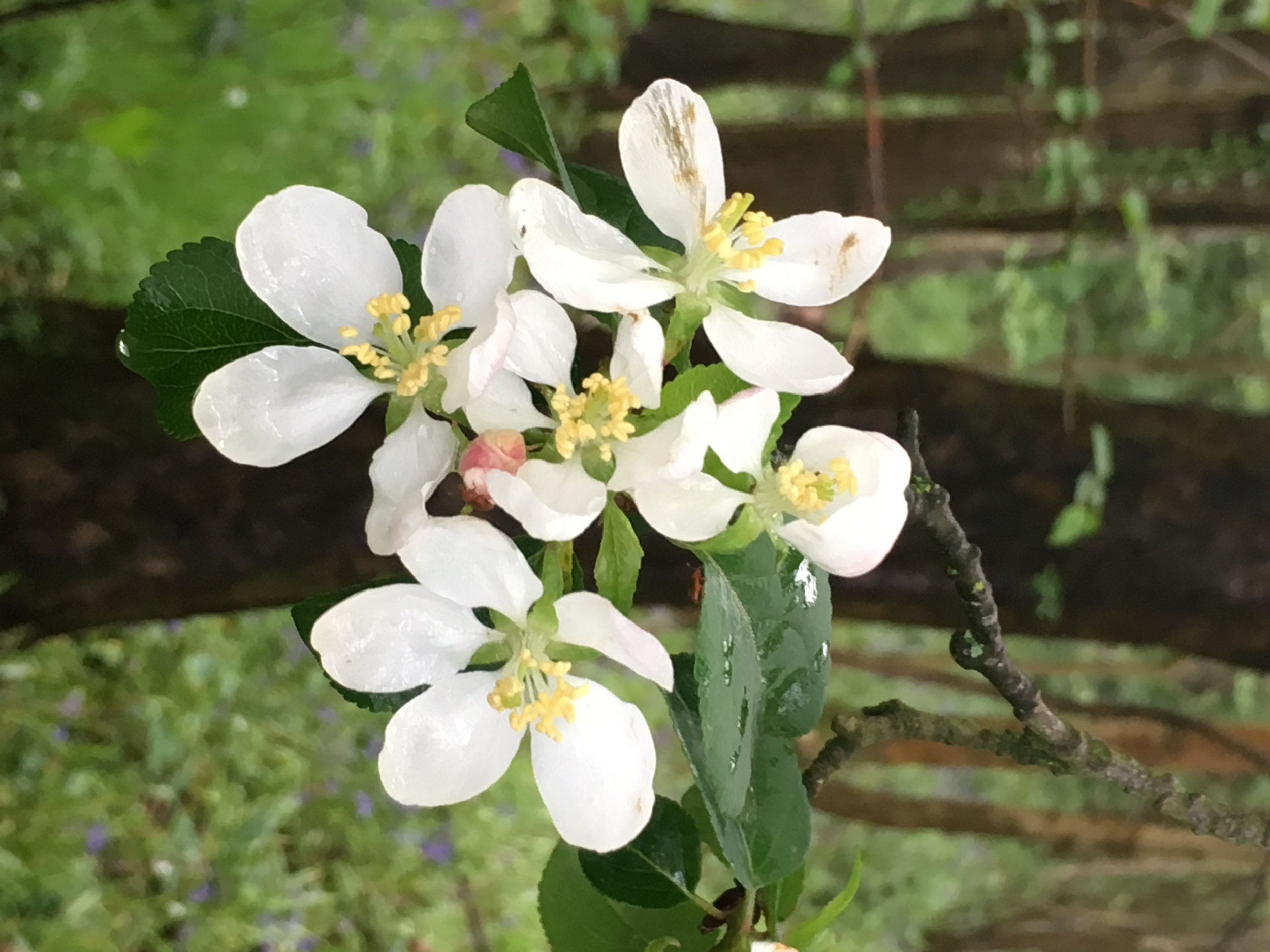 Apple Blossom 1.jpg