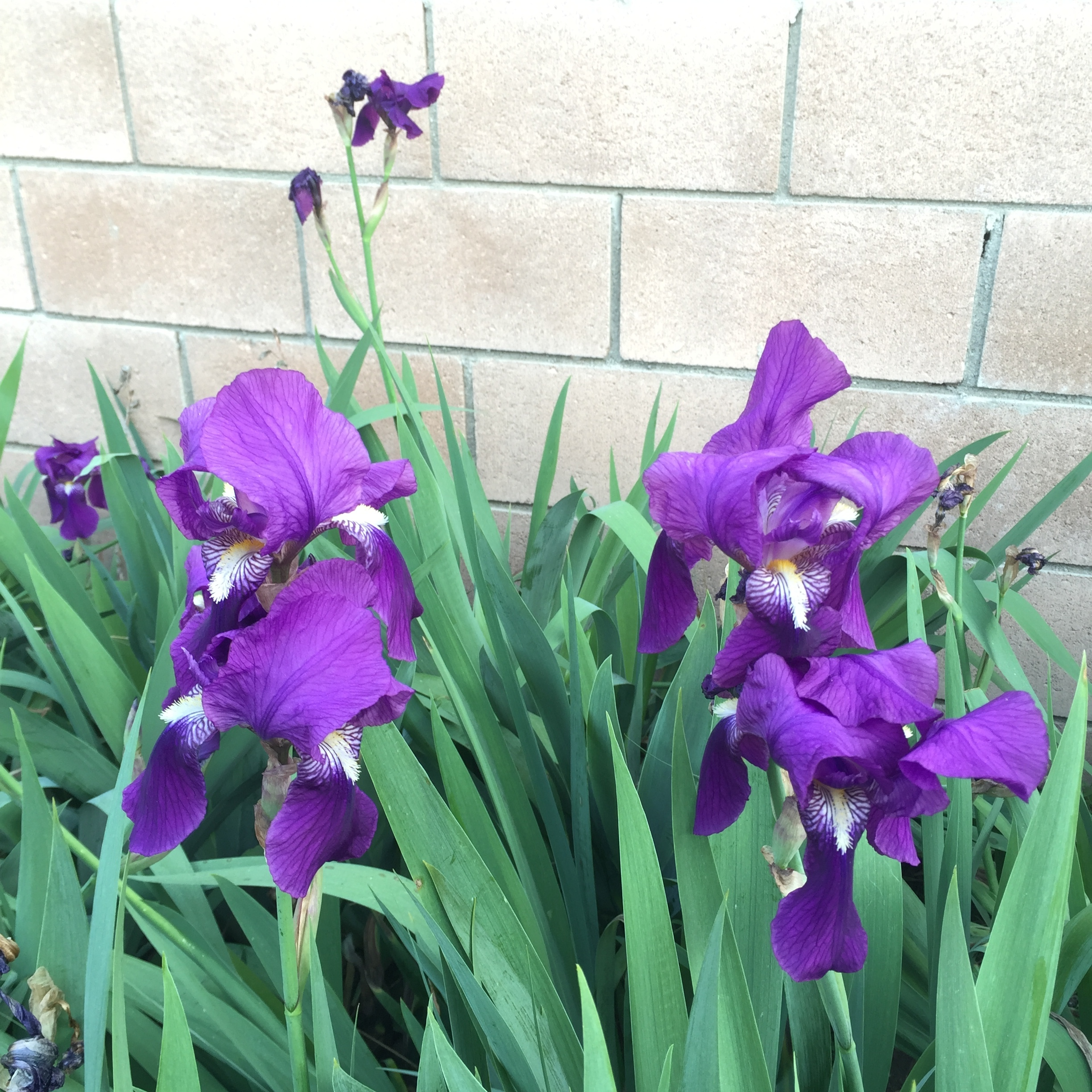 Purple and white (not pictured) irises.