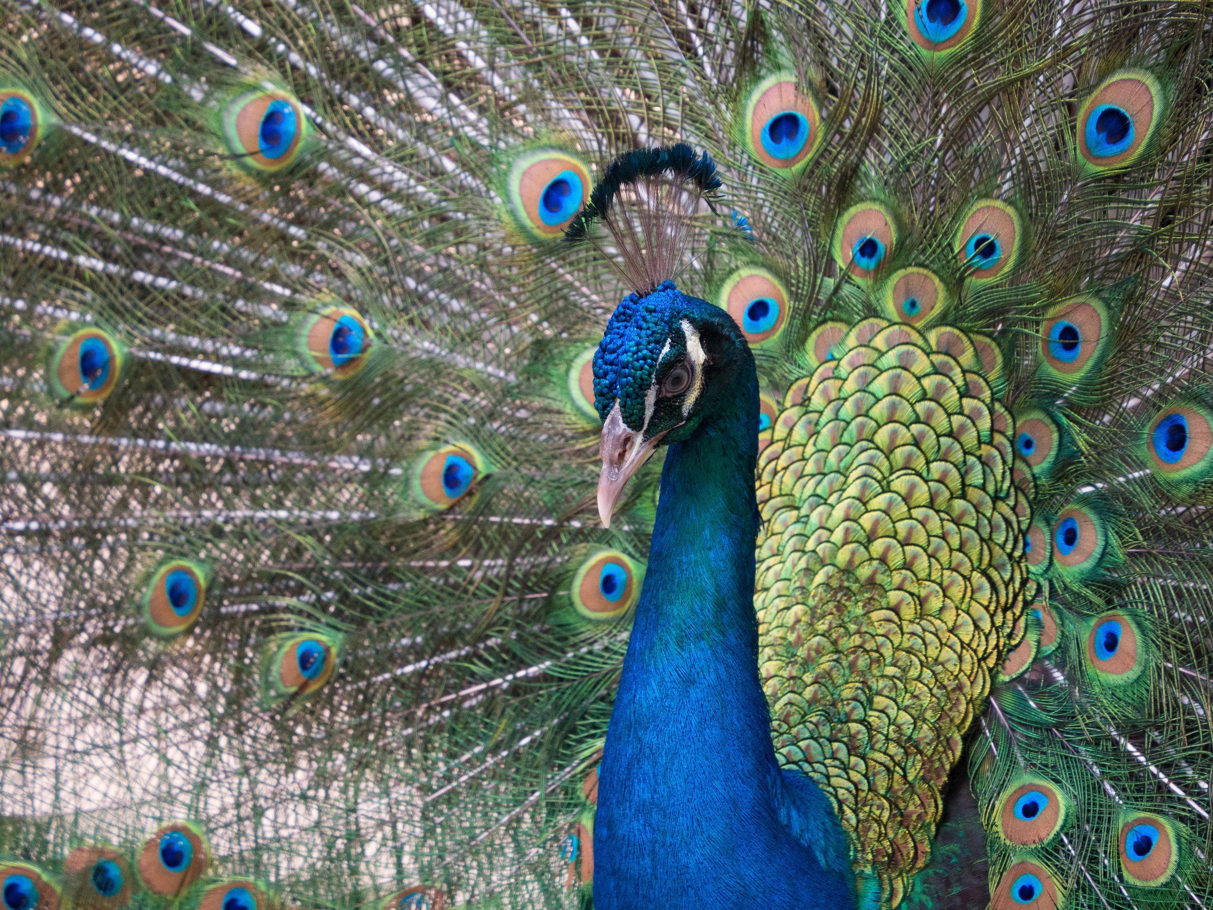 Mexican Peacock-4592 x 3448.jpg
