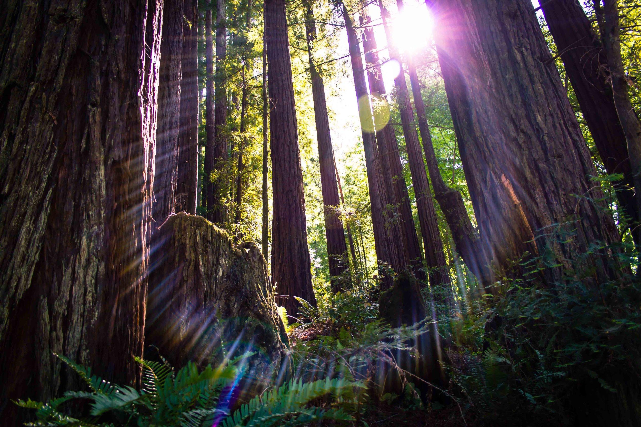 Phoenix Lake Redwood Sun Flare.jpg