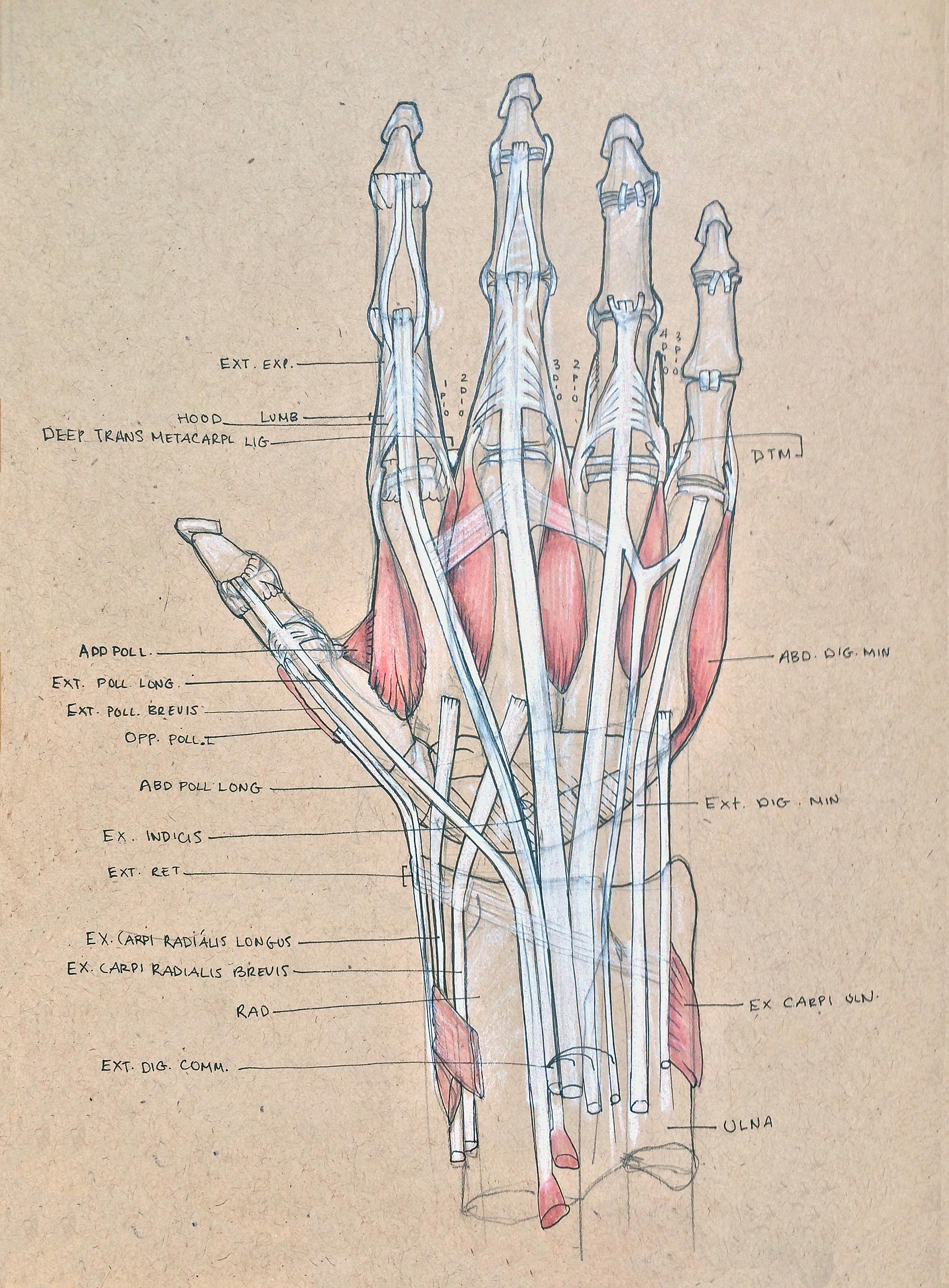 Anatomy Hand One.jpg